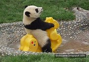 Image result for Funny Pics Of Pandas