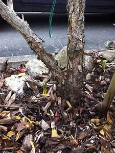 Verholzten Lavendel Schneiden : hilfe kann man eine rose tot schneiden ben tige dringend ~ Lizthompson.info Haus und Dekorationen