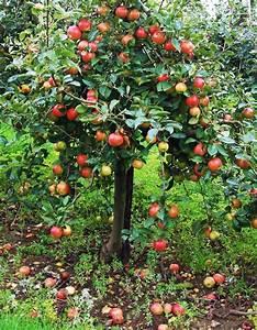Kleiner Gemüsegarten Anlegen : einen apfelbaum kaufen so finden sie die perfekte sorte f r ihren garten garten pinterest ~ Pilothousefishingboats.com Haus und Dekorationen