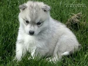 Grey & White Siberian Husky Puppy | Past Puppies ...