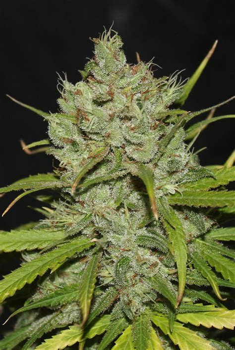 cinderella  von brothers grimm cannabis sorten infos