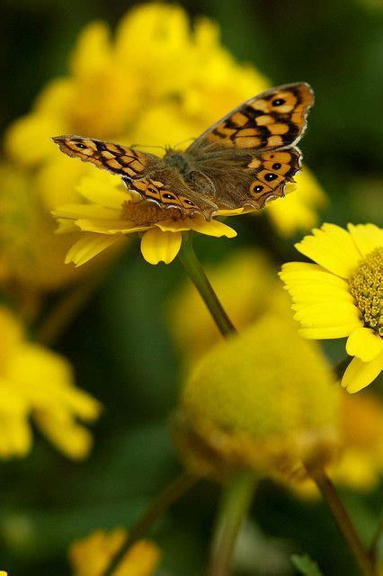 Yellow Butterfly and Flowers