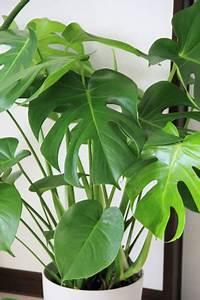 Zimmerpflanzen Sonniger Standort : giftige und ungiftige zimmerpflanzen und pflanzen ~ Whattoseeinmadrid.com Haus und Dekorationen
