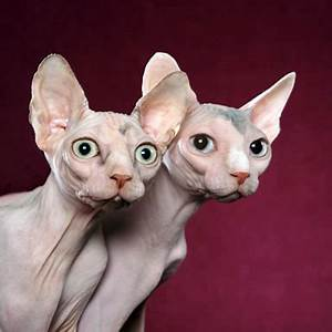 Image Gallery hairless disorder