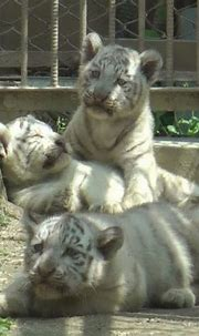 White Tiger Channel - YouTube