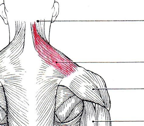 Quia - Posterior Muscles