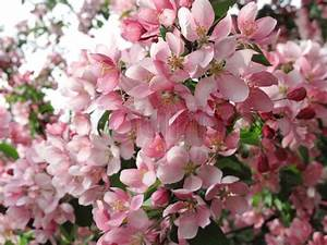 Baum Mit Blüten : bl henden baum mit sch nen rosa bl ten stock foto colourbox ~ Frokenaadalensverden.com Haus und Dekorationen