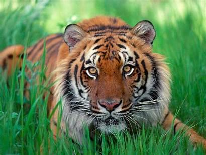 Tiger Caspian Desktop Tigers 3d