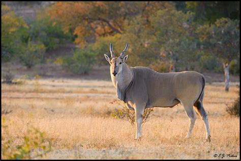 Common Eland Page