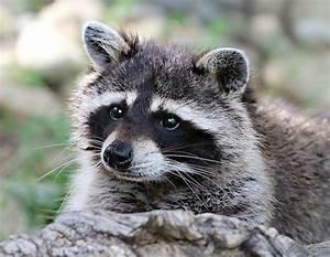 Raccoon - WikiFur, the furry encyclopedia
