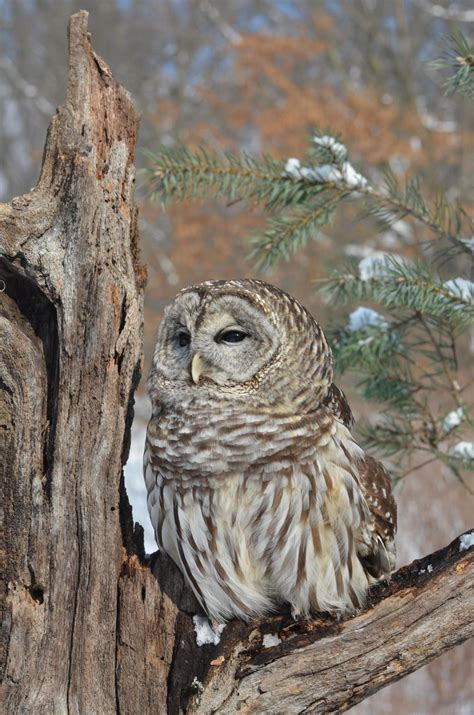 winter hoots   listening  owls  northeast