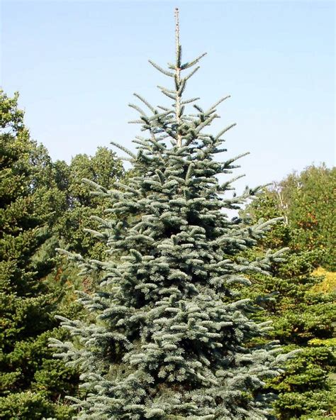 noble fir transplants noble fir abies procera tree seeds tree seeds ebay