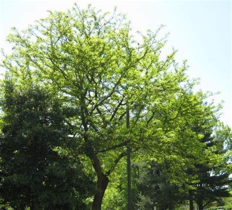 locust tree locust tree locust tree