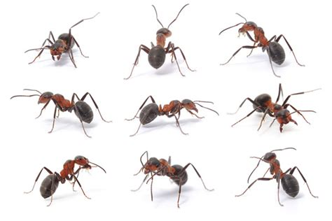 types  ants   invade  home terminix