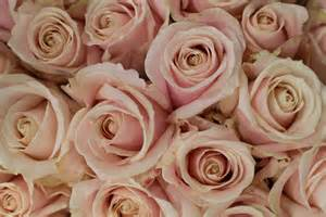 Blush Garden Rose Varieties