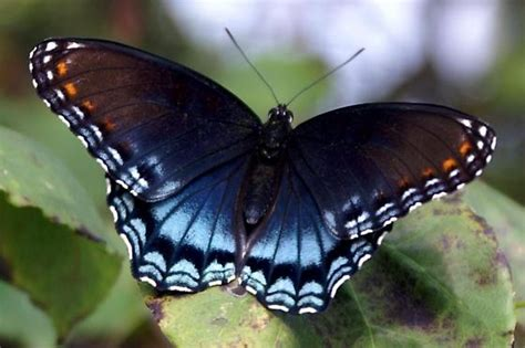 red spotted purple white admiral identification facts