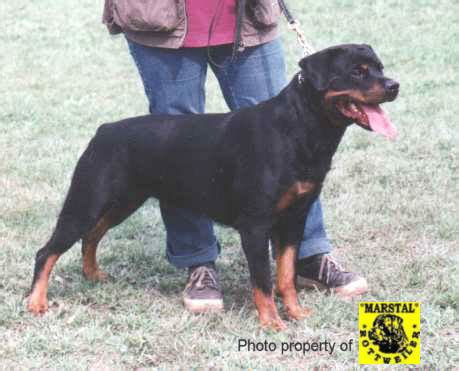 sita siege coast rottweilers rotts california import dogs german