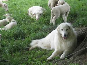 Sheep Herding Dogs Breeds