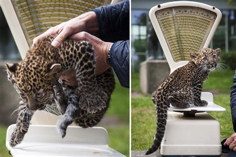 leopard cub august