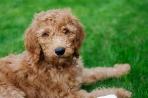 goldendoodle golden retriever poodle mix