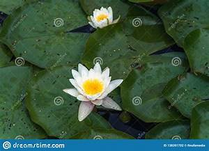 Photo Of The Water Lily With Green Leaves Surrounding It
