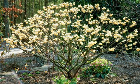 Black Goldfragrant Winter Flowering Shrubs  Black Gold