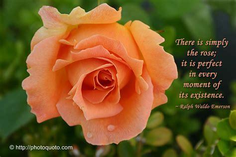 orange rose quotes quotesgram