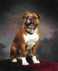 ideas   english bulldogs  pinterest