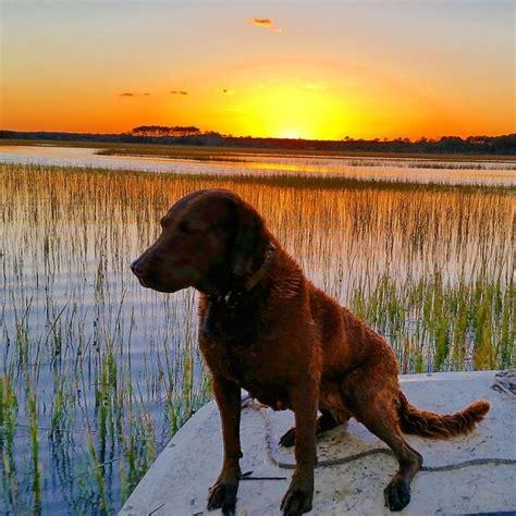 1000 ideas about chesapeake bay retrievers on pinterest