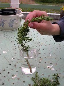 Bouture Plante Verte : bouturage du romarin dans l 39 eau jardin jardin d 39 herbes jardin de l gumes et potager ~ Melissatoandfro.com Idées de Décoration