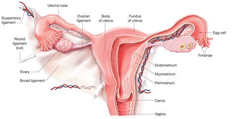 The uterus | Anatomy of the uterus | Physiology of the ...
