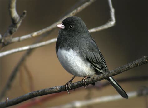 dark eyed junco birds juncos nuthatches pinterest