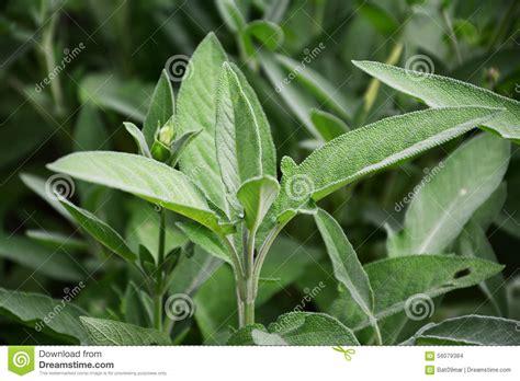 Sage Plant Leaves (salvia Officinalis) Stock Photo Image
