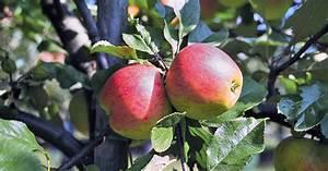 Wann Apfelbaum Pflanzen : apfelbaum pflanzen mein sch ner garten ~ Lizthompson.info Haus und Dekorationen