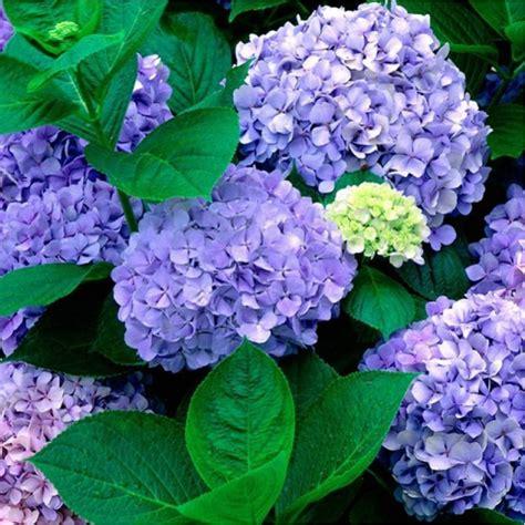 hortensia bleu renate steiniger en vente chez plantes et