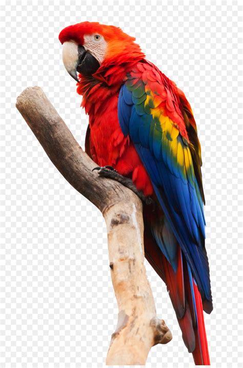bird macaw png    transparent