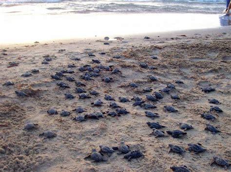 sea turtles   annual run   water mnn