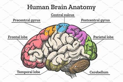 Brain Anatomy Human Diagram Illustrations