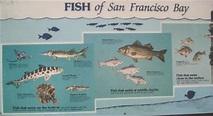 Fish of San Francisco Bay Area: sfbaywildlife.info