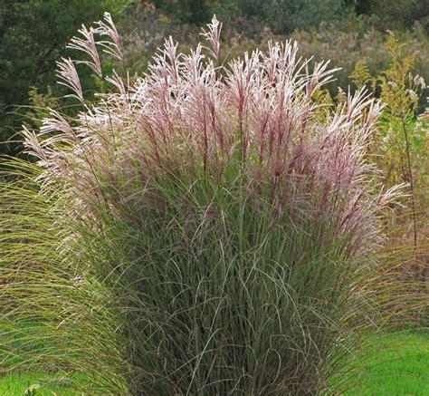 morning light grass miscanthus morning light grass
