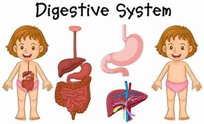 Digestive System Diagram Vector Anatomy Human Illustration