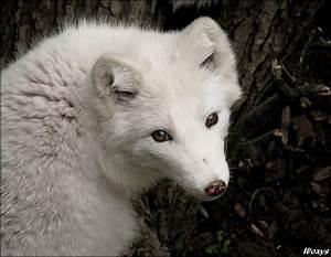 Baby Arctic Fox | Amazing Animals | Pinterest