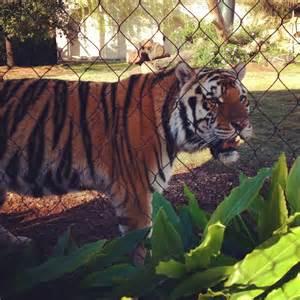 LSU Tiger Mike Habitat