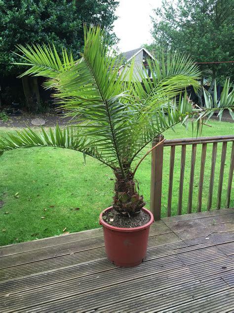 palmier canariensis en pot canariensis canarie 206 le palmier environ 180cm en pot ebay
