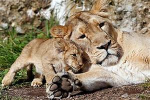 Baby Lions - The Christian Science Monitor