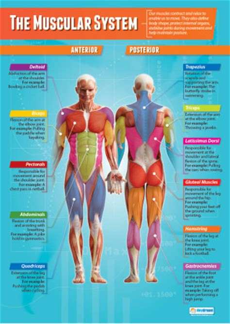 muscular system physical education poster