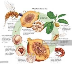 Figs Have Dead Wasps