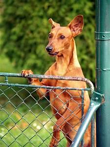 Günstiger Zaun Für Hund : hund der ber zaun schaut stockbild bild von abdeckung 32935189 ~ Frokenaadalensverden.com Haus und Dekorationen