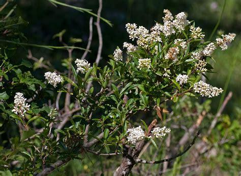 fiori molto profumati ligustro