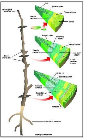 meristems biology encyclopedia cells plant body